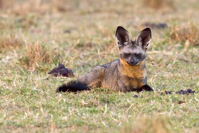 Fox Batte-à oreilles vigilant image stock