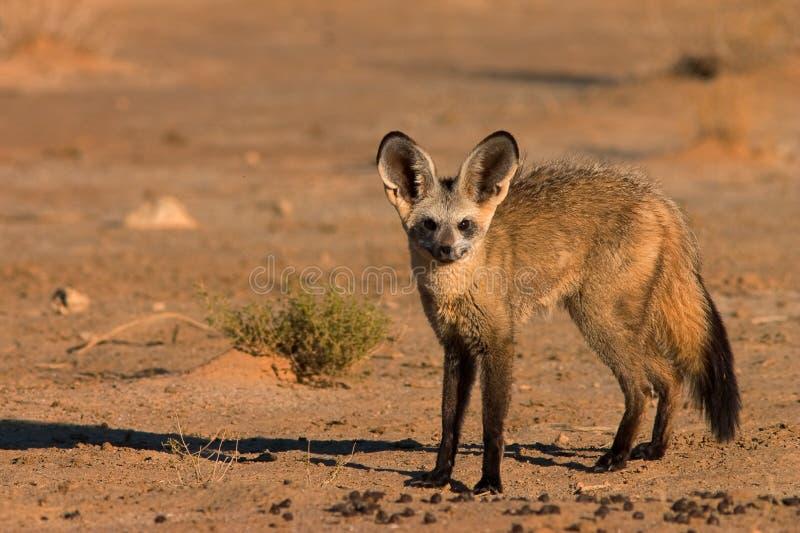 Fox Blocco-eared fotografia stock libera da diritti