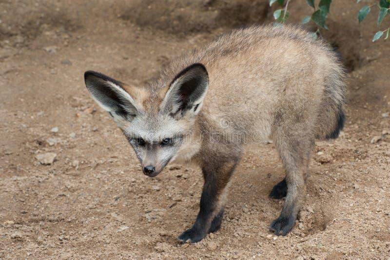 Fox Blocco-eared fotografia stock