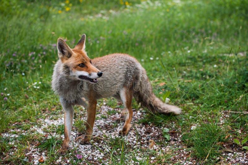 Fox bonito italiano em Úmbria imagens de stock royalty free