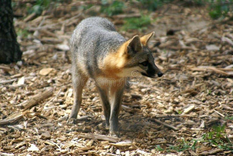 Fox cinzento fotos de stock royalty free