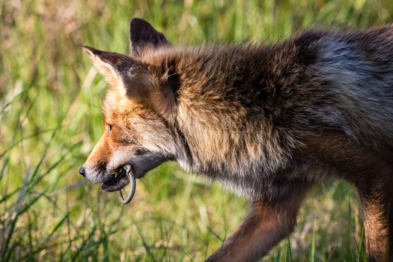 Fox con una lucertola che di sabbia ha preso appena immagini stock