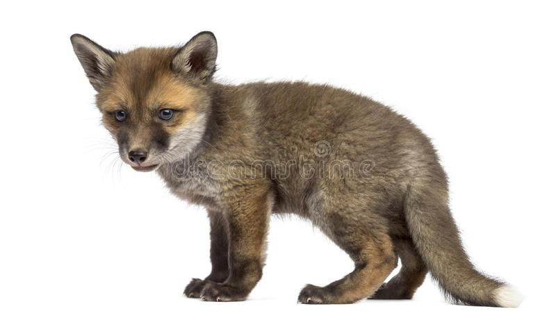 Fox cub in front of a white background stock photo