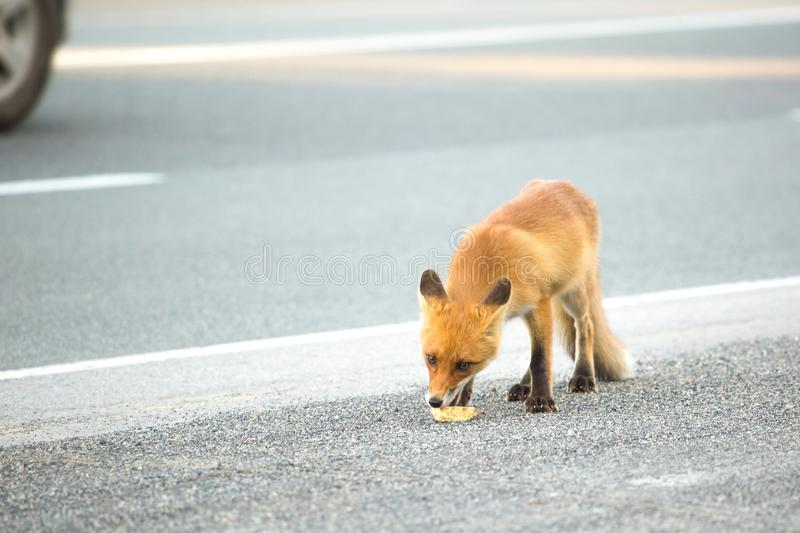 Fox cub on the roadside. On the road going cars. royalty free stock images
