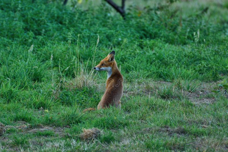 Fox cub, vulpes vulpes, `Is that my mummy over there?` royalty free stock photo