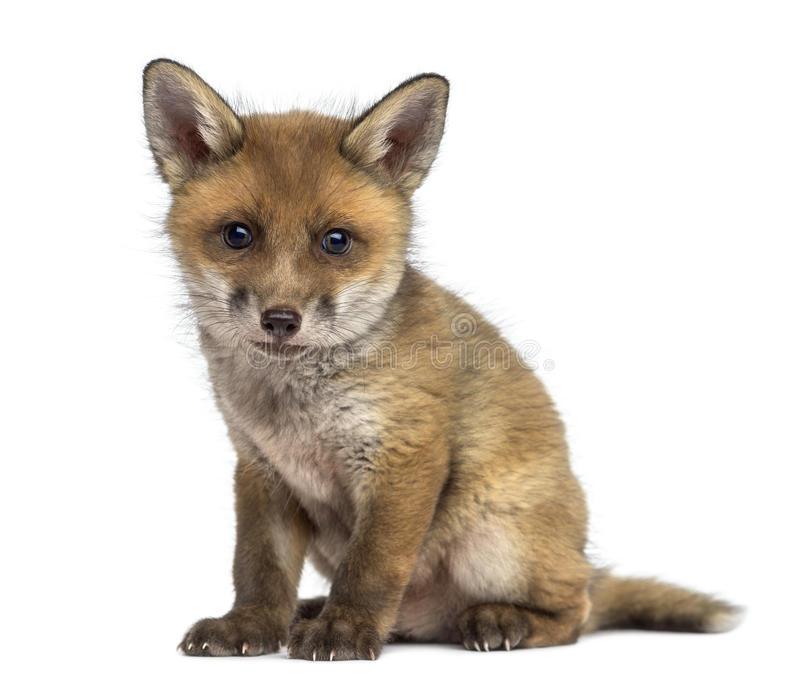 Fox cub (7 weeks old) sitting. In front of a white background stock photography