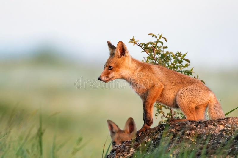 Fox cub. Young red Fox stands on a rock in the evening light.  stock images