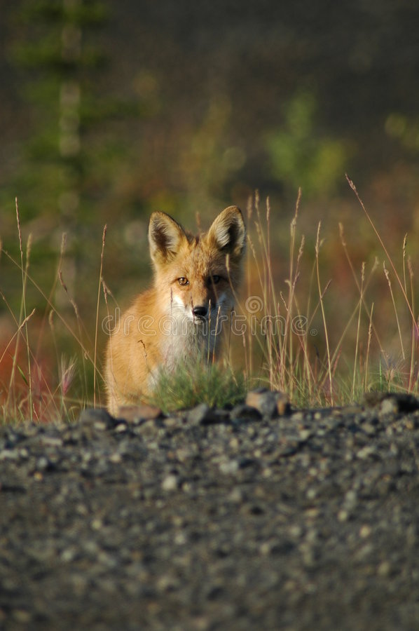 Fox curieux images stock