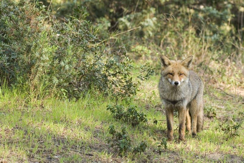 Fox curieux photos stock