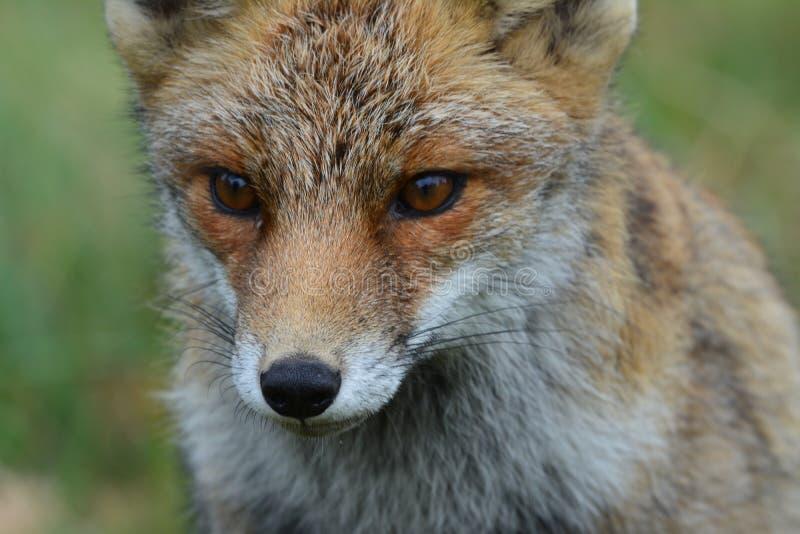 Fox dans Amsterdamse Waterduinen image libre de droits