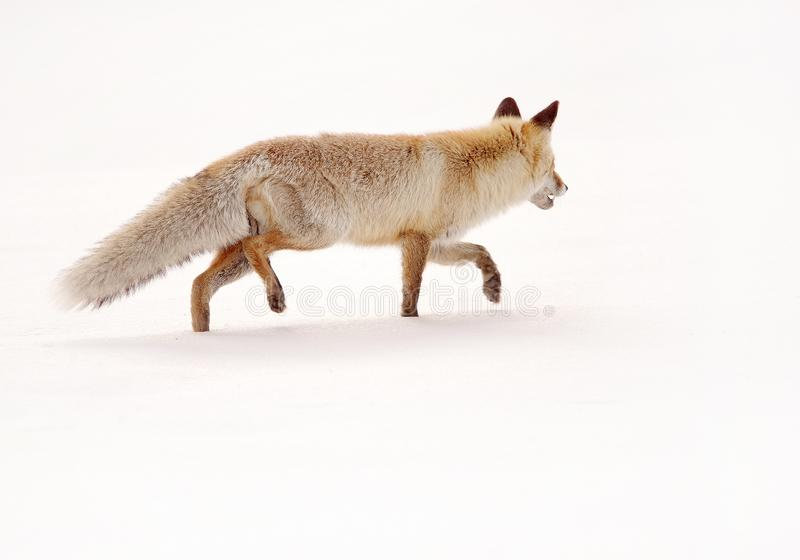 Fox dans l'habitat naturel L'hiver et neige photo stock