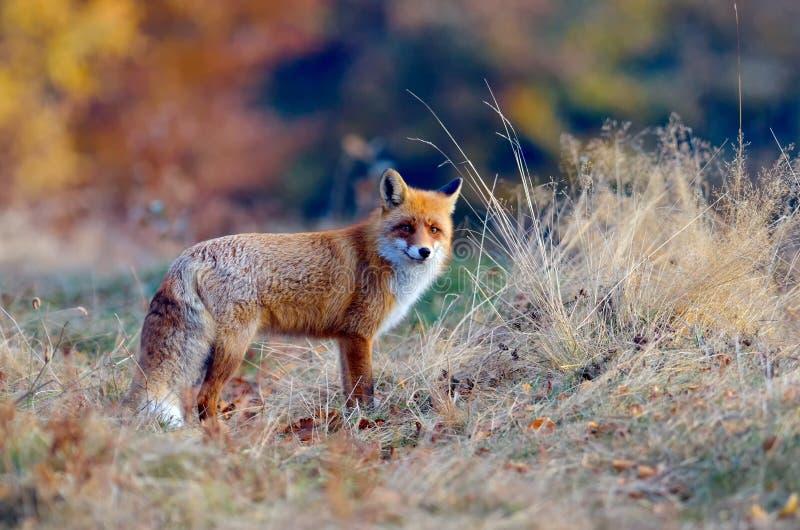 Fox dans la faune photographie stock