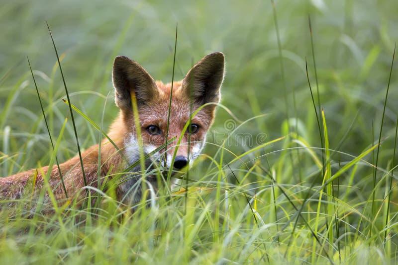 Fox dans le sauvage image libre de droits