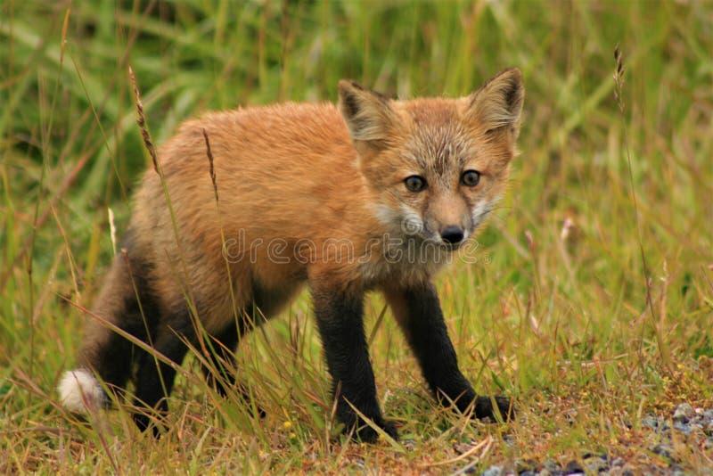 Fox de bébé photographie stock