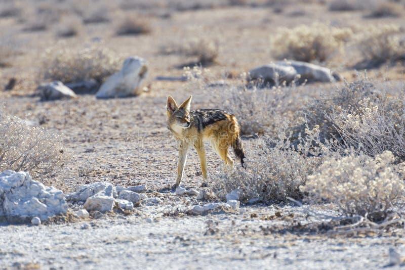 Fox de cap en parc national d'Etosha, Namibie images libres de droits