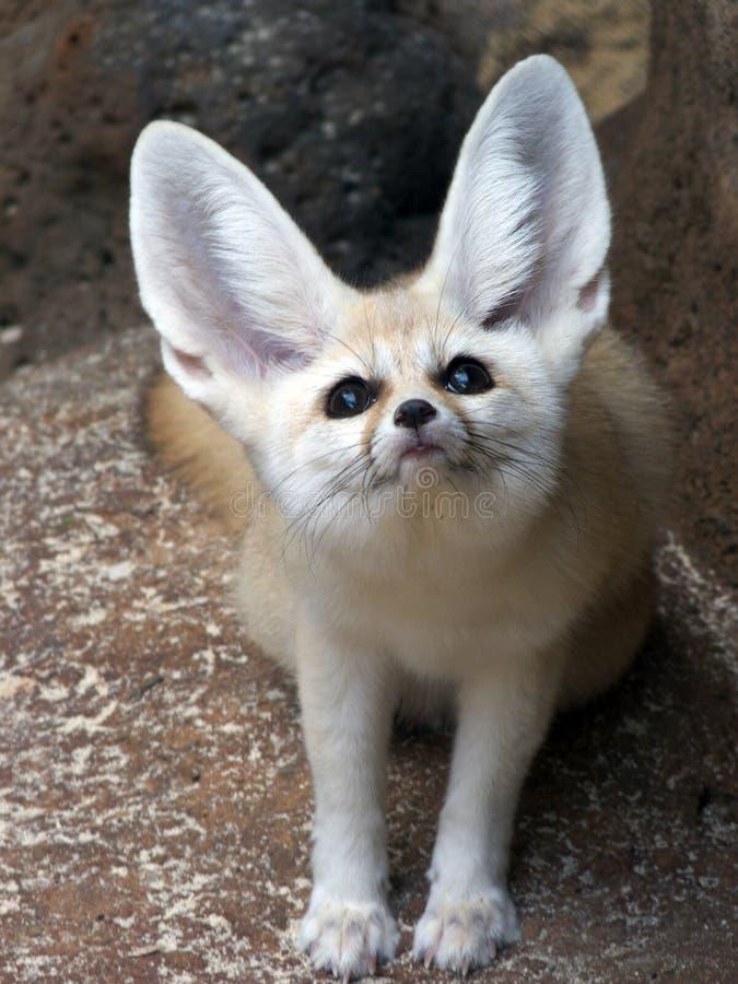 Fox de Fennec fotos de archivo