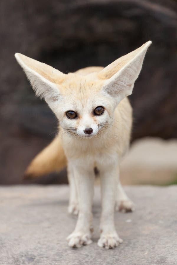 Fox de Fennec image stock