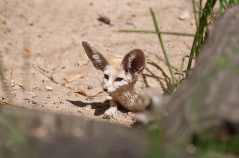 Fox de Fennec de renard de désert images stock