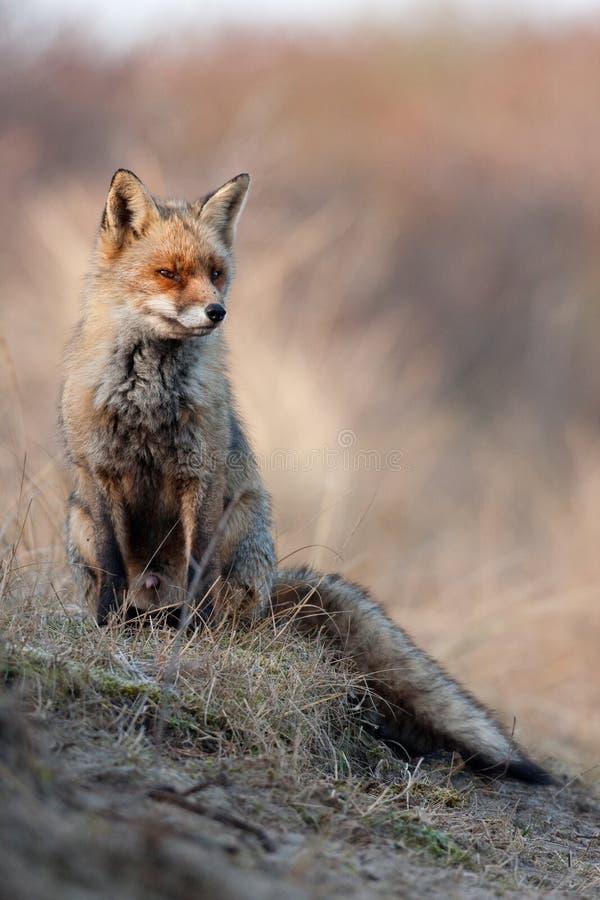 Fox de la duna fotos de archivo
