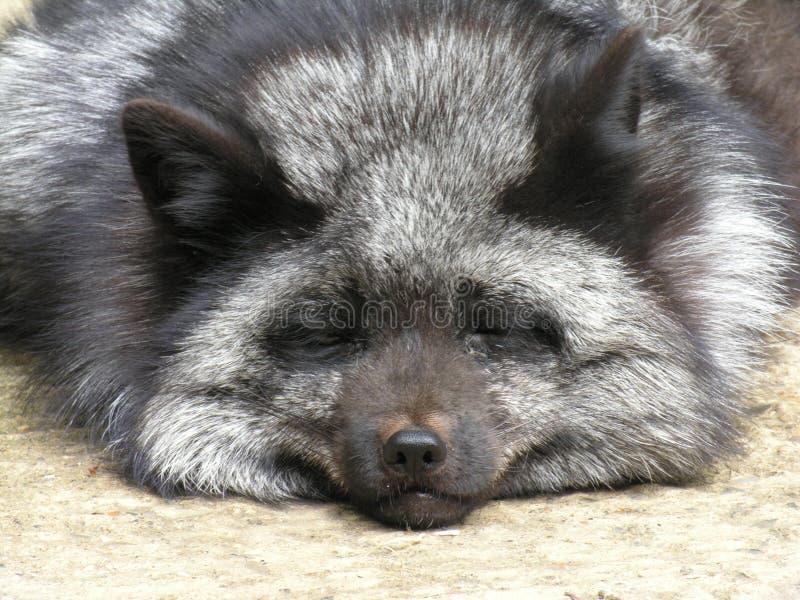 Fox de prata fotografia de stock royalty free