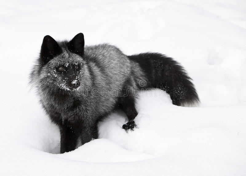 Fox de prata do retrato imagens de stock