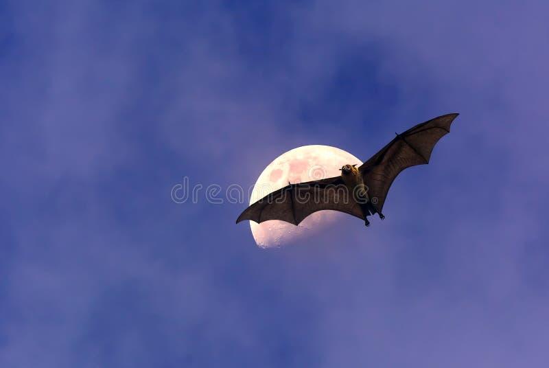 Fox de vol ou batte de fruit au-dessus de ciel foncé photos libres de droits