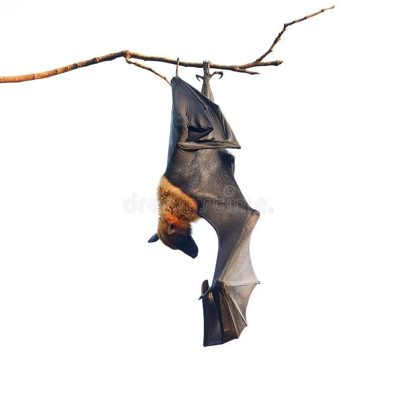 Fox de vuelo fotos de archivo libres de regalías