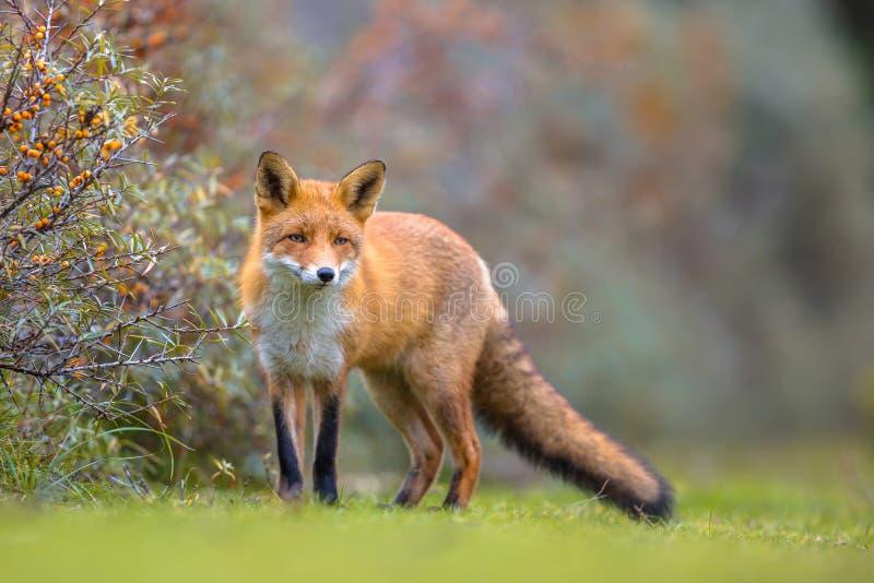 Fox, der in Dünenvegetation geht stockfotografie