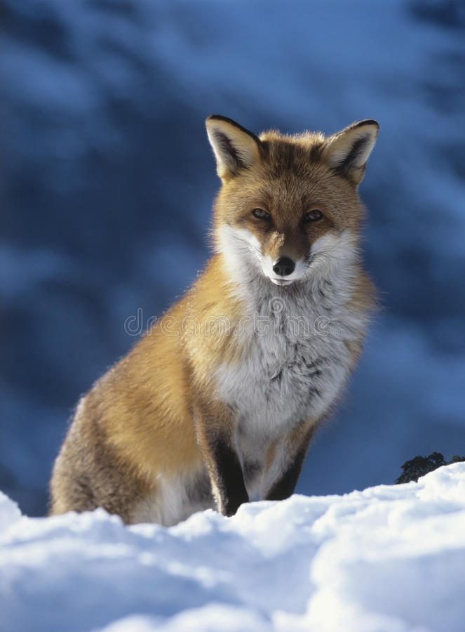 Fox, der im Schnee sitzt lizenzfreies stockbild