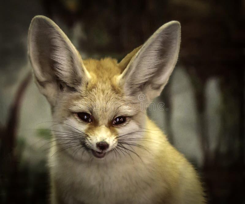 Fox di Fennec fotografia stock