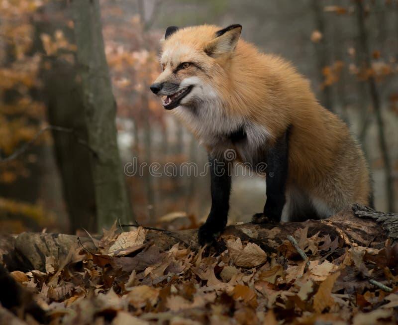 Fox di ringhio in autunno fotografia stock libera da diritti