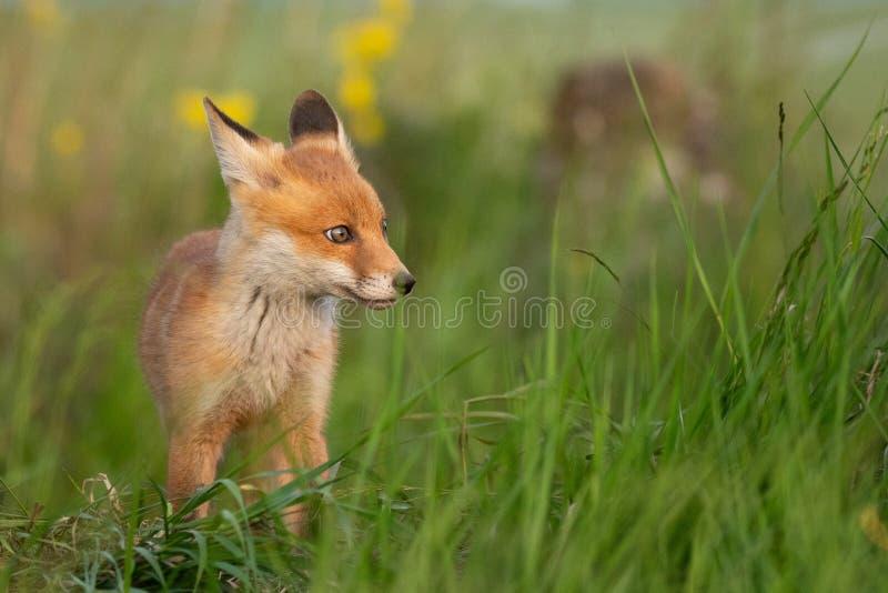 Fox do beb? Fox vermelho novo na grama perto de seu furo fotografia de stock