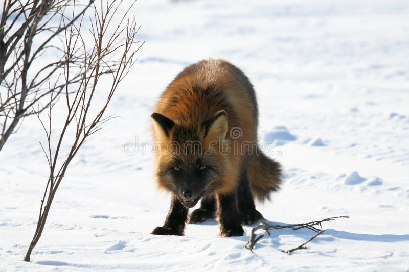 Fox, Dog Like Mammal, Red Fox, Mammal stock images