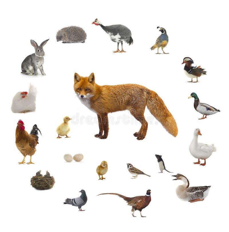 Fox e che cosa la volpe mangia immagine stock immagine - Cosa mangia un cucciolo di talpa ...