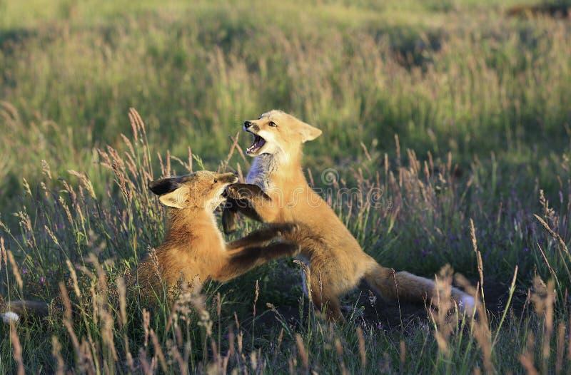 Fox e grano immagini stock