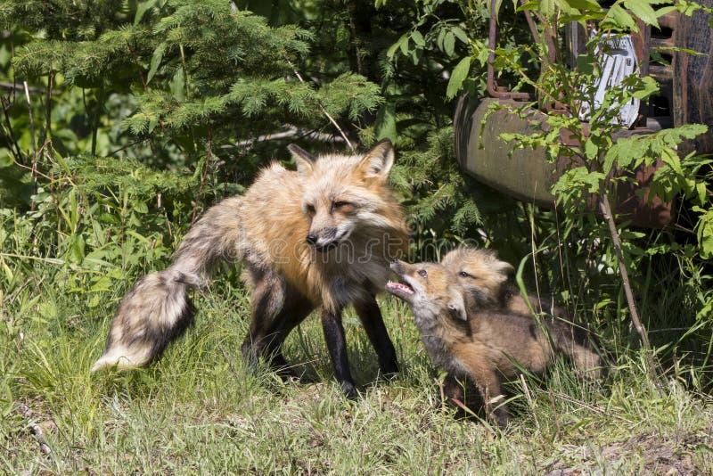 Fox e jogos imagens de stock royalty free