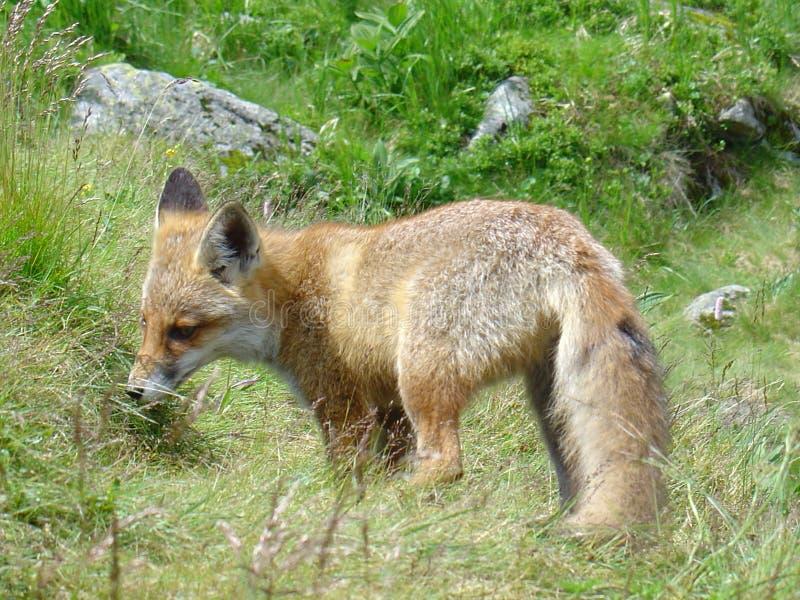 Fox em Slovakia fotos de stock royalty free