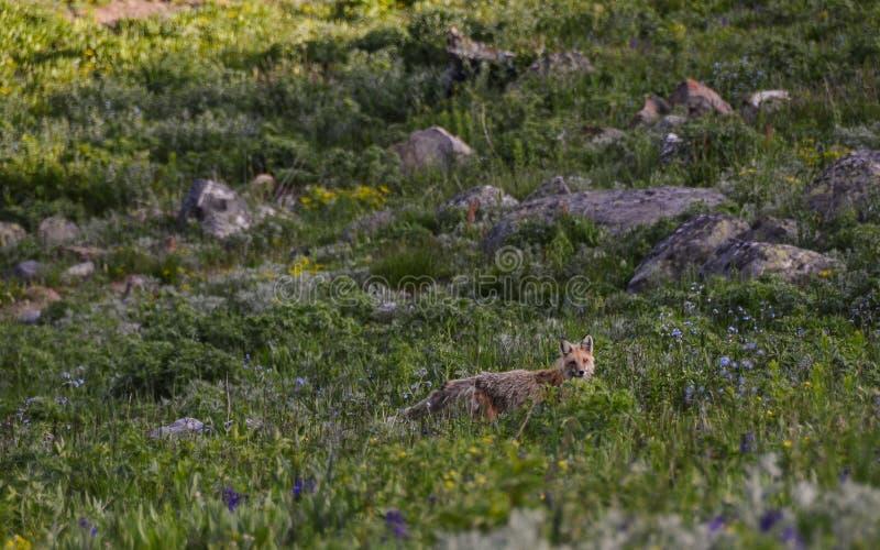 Fox em um campo em Montana fotos de stock royalty free