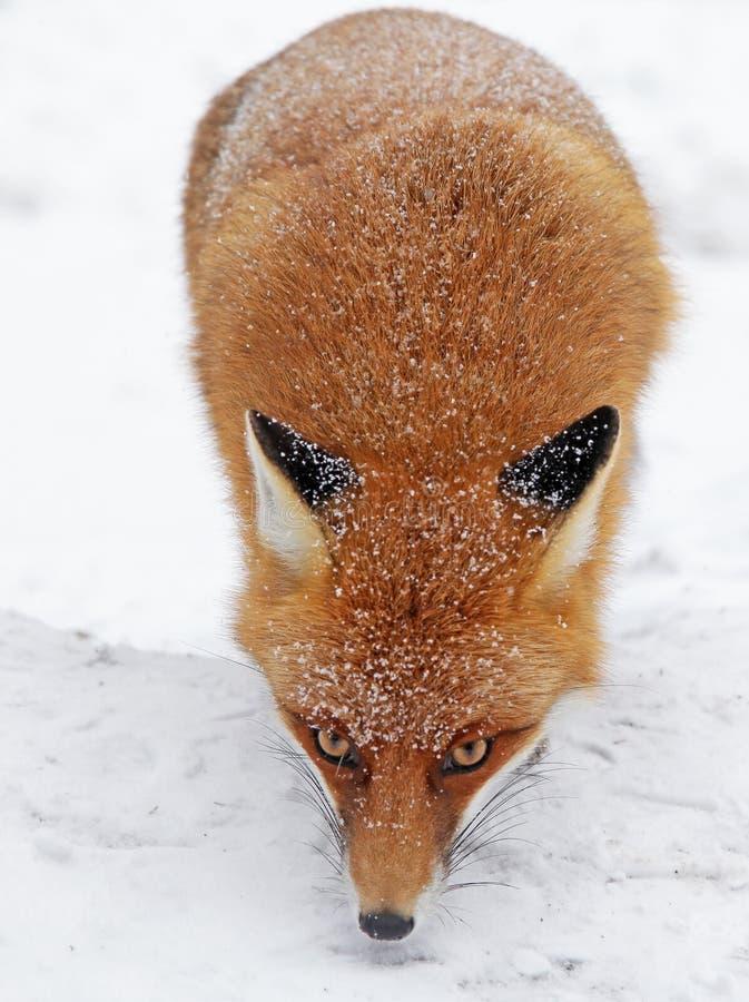Fox en bosque en alto Tatras, Eslovaquia imagenes de archivo