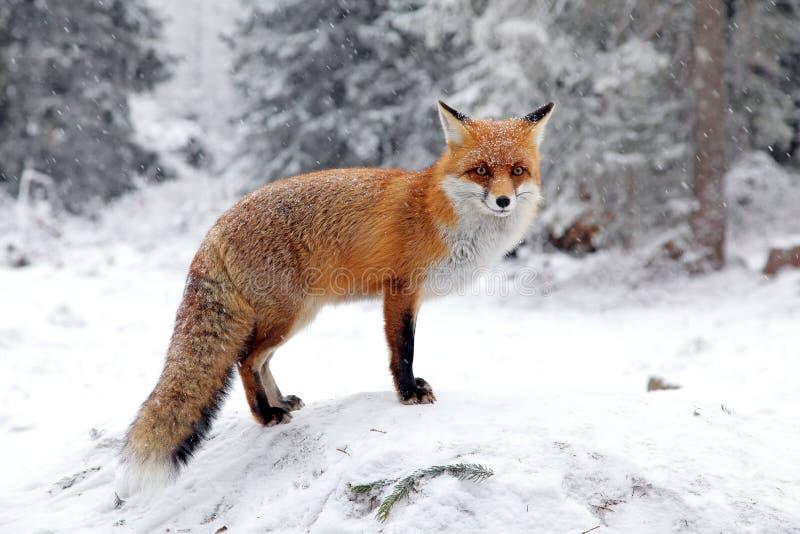 Fox en bosque en alto Tatras, Eslovaquia fotos de archivo