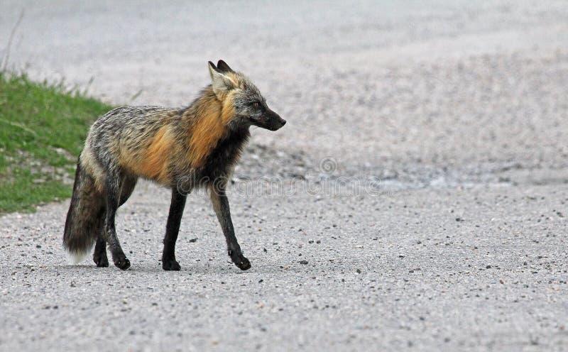 Fox en el camino fotografía de archivo