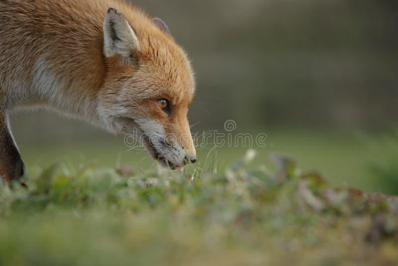 Fox en el vagabundeo fotos de archivo libres de regalías