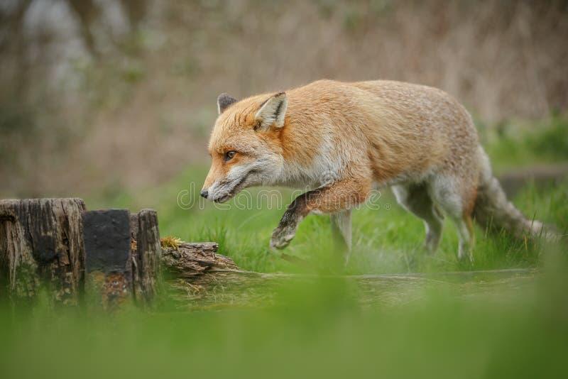 Fox en el vagabundeo fotografía de archivo libre de regalías