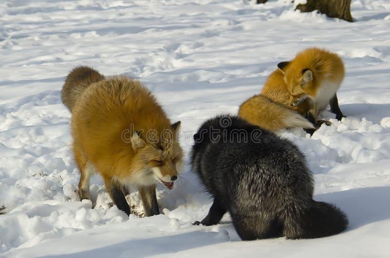 Fox en hiver photos stock