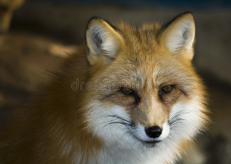 Fox en hiver photo stock