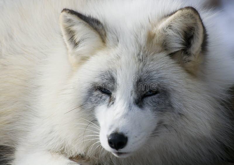 Fox en invierno imagen de archivo