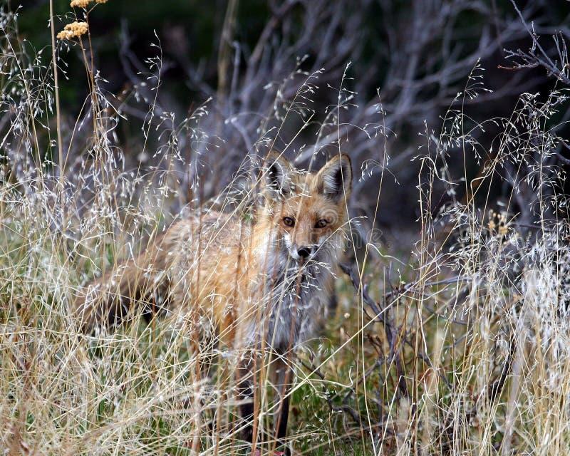 Fox en la hierba imagen de archivo