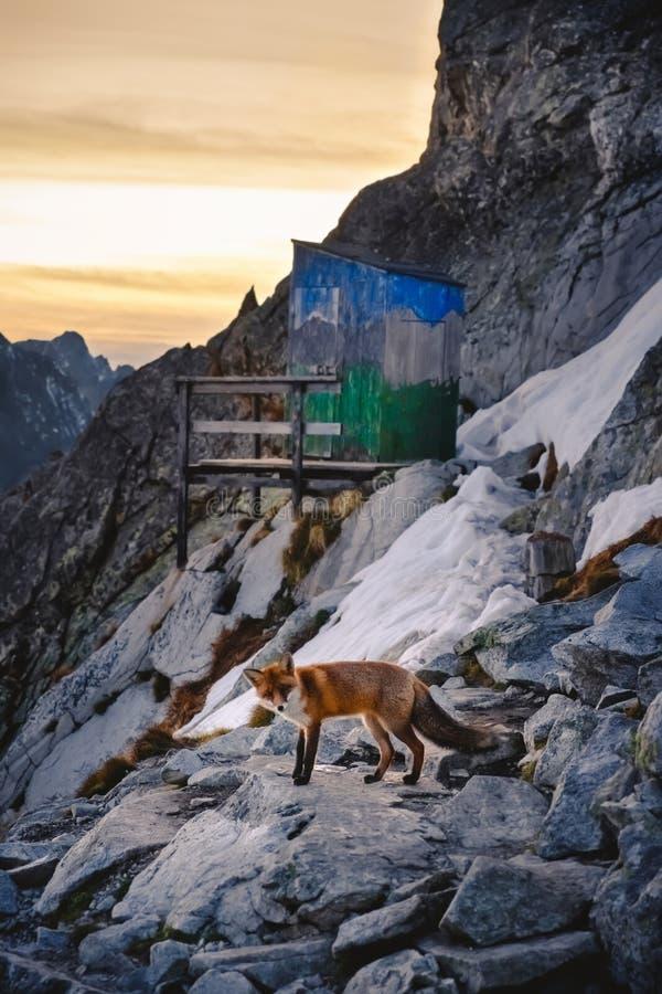Fox en montaña del invierno en la puesta del sol fotos de archivo