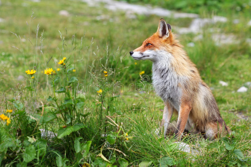 Fox en nature image libre de droits