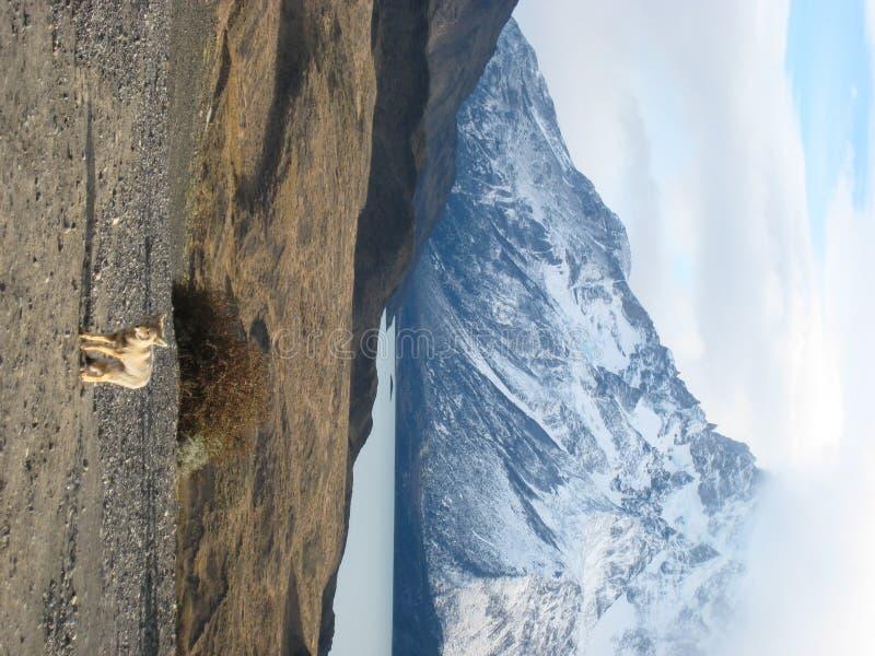 Fox en Torres del Paine fotografía de archivo